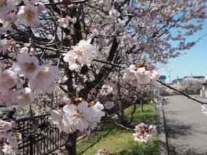 桜づつみのサクラ 2021年4月26日